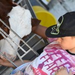 Enfant caresssant une vache montbeliarde ferme pédagogique de Thorenc