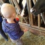 petit garçon de dos donnant foin aux vaches Prim'Holstein
