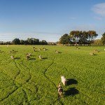 Drone : Vaches dans pré