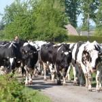 Prim'Holstein sur route du Nord