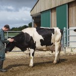 Homme qui caresse vache Prim Holstein batiment