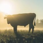 Webdocumentaire - A l'heure du lait