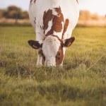 Montbéliarde qui broute de face dans un pré, prairie, herbe