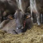 vache brune gros plan couchée dans foin