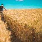 Homme dans champ de blé, environnement