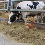 vache Prim'Holstein avec poule dans stabulation