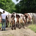 Eleveur qui ferme le troupeau de vaches normandes, chemin