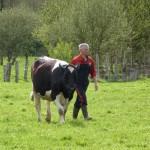 Homme et vache Prim'Holstein dans prairie