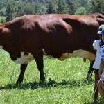 Visite à la ferme pédagogique, élèves, jeunes, vache abondance, pré
