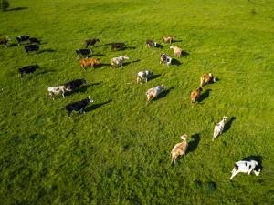 Champ avec des vaches qui broutent