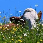Tête de vache qui dépasse des fleurs, champs, paturage, ciel bleu