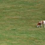 Vache Red Holstein seule dans pré, pature, herbe