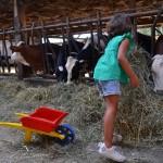 Fille de dos dans stabulation qui donne foin aux vaches, brouette