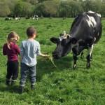 deux enfants donne de l'herbe a une vache Prim Holstein dans prairie, pré