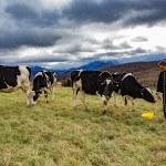 Eleveur dans champs, prairie, donnant a manger a des vaches prim'holstein, saut jaune, ciel gris