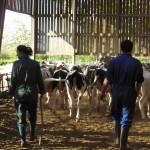 Jeune femme et homme dans batiment, avec troupeau de vaches Prim'Holstein