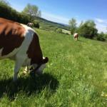 Vaches Montbéliardes dans pré, champs, herbe, ciel bleu