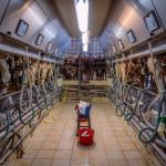 Salle de traite, vaches, bassine, tabouret